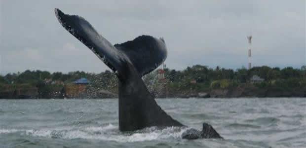 avistamiento-de-ballenas-bahia-malaga-ecoturismocolombia
